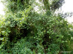 lush vines