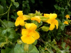 golden monkeyflowers
