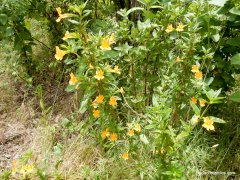 monkeyflowers