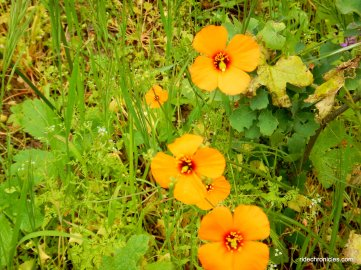 wind poppies