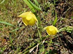 globe lilies