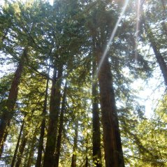 mt tam redwoods