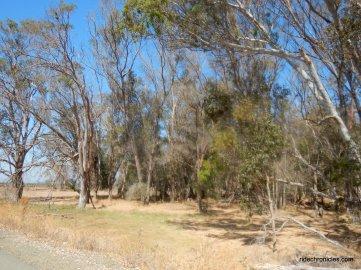 eucalyptus dr