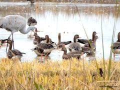 sandhill cranes/geese