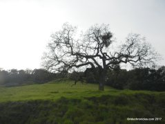 oak tree trail