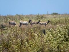 tule elk cows