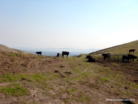calaveras ridge cattle