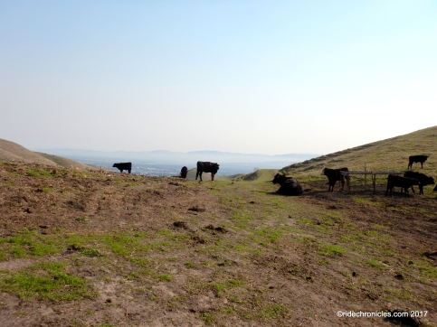 calaveras ridge cattle