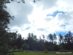 pine tree tr